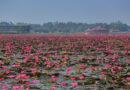 ชมทุ่งดอกบัวสีชมพู ทะเลสีหวานกลางพัทลุง
